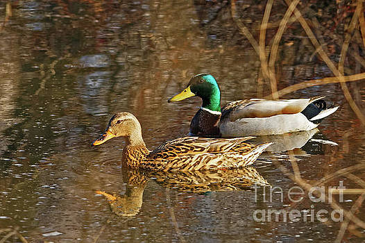 Mallard Spring Pair by Natural Focal Point Photography