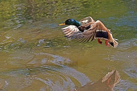 Mallard take-off by Asbed Iskedjian