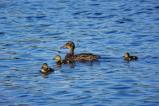 Mallard with Children by Francie Davis