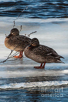 Mallards on Ice by Chris Holmes