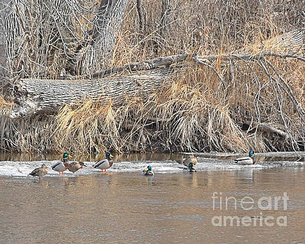 Mallards On The River by Kathy M Krause