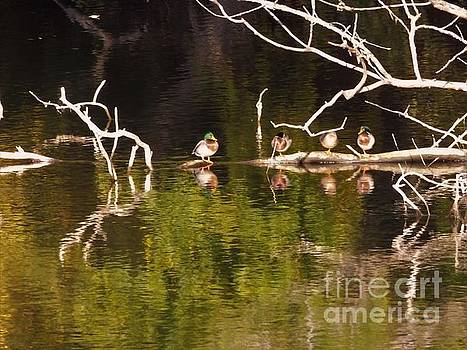 Mallards Resting On Submerged Tree              Autumn         Indiana by Rory Cubel