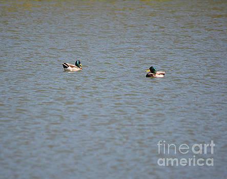 Mallards Taking A Swim by Ruth Housley