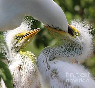 Paulette Thomas - Mama Egret feeding her babies