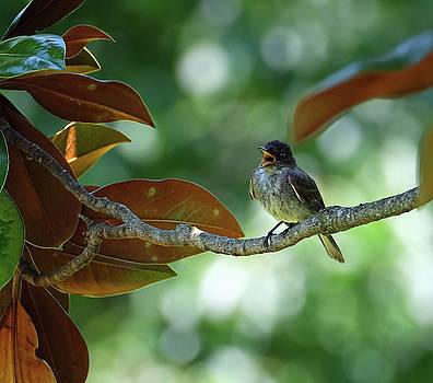 Mama Kingbird by Ronda Ryan