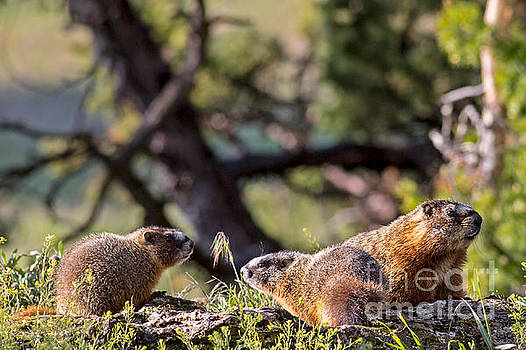 Mama Marmot and Pups by Natural Focal Point Photography