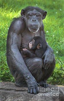 Gary Gingrich Galleries - Mama N baby Chimp-0290
