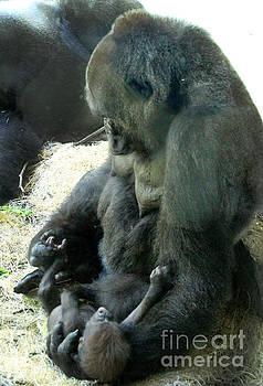 Gary Gingrich Galleries - Mama N Baby Lowland Gorilla - 3.5 weeks old