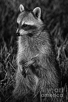Deborah Benoit - Mama Raccoon