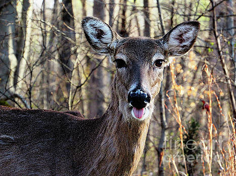 Mammoth Cave Kentucky Deer Sticks His Tongue Out by Ron Tackett