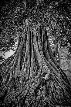 Man asleep in banyan tree by Donna Caplinger