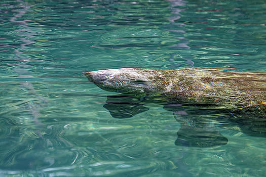 Manatee Baby by Sally Weigand