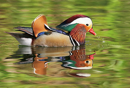 Mandarin Duck by Ram Vasudev