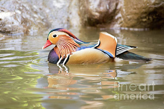 Mandarin duck swimming by Cesar Padilla