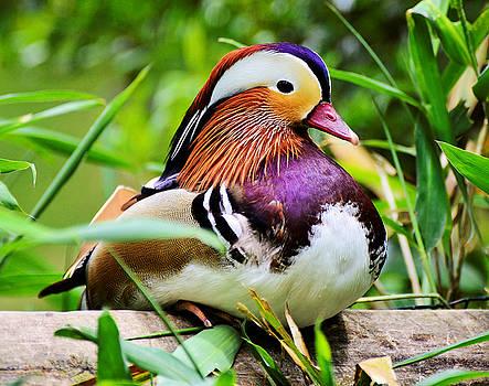 Mandarin duck by Bill Hosford