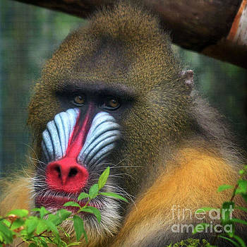 Mandrill Red Nose Primate Face by Loriannah Hespe