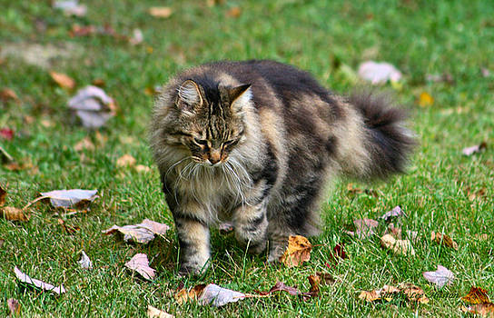 Sandra Huston - Maine Coon in the Fall