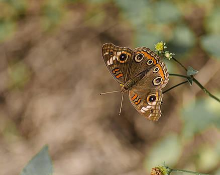 Mangrove Buckeye Butterfly by Stephanie Maatta Smith