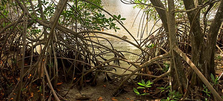 Mangroves on New River by Matt Tilghman