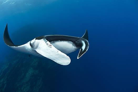 Manta above Reef by David Valencia