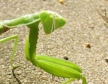 Mantis in the summer morning by Kathy Daxon