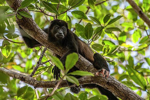 Mantled Howler Monkey by Gary Lengyel