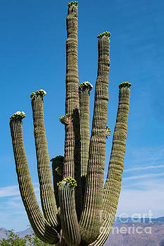 Bob Phillips - Many Arms of a Saguaro