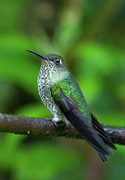 Many-Spotted Hummingbird by Cascade Colors