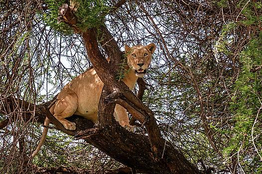 Manyara Tree Climbing Lion by Mary Lee Dereske