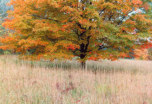 Maple and Tall Grass by Andrew Kazmierski