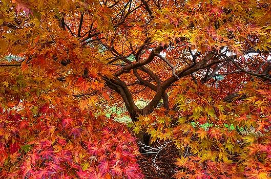 Maple beauty by Ronda Ryan