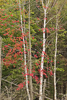 Maple Birch by Peter J Sucy