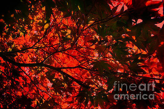 Maple Dance in Red by Paul Cammarata