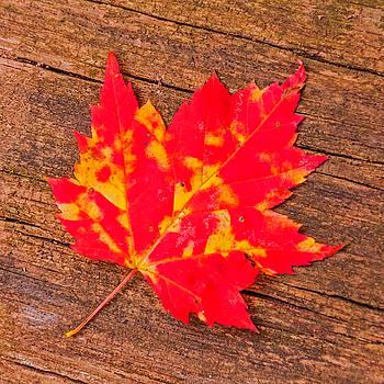 Maple Leaf 1 by Lonnie Paulson