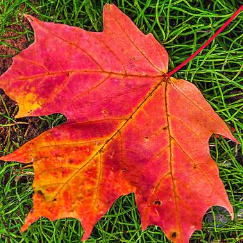 Maple Leaf 2 by Lonnie Paulson