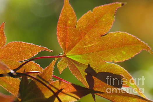 Maple Leaf by Anita Adams