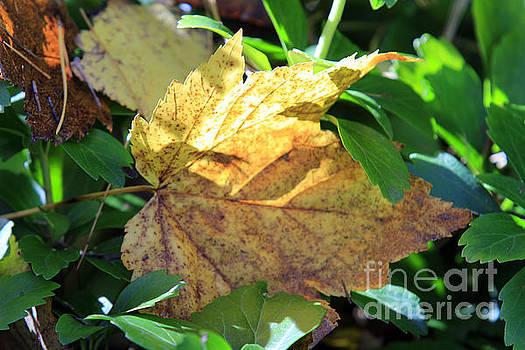 Maple Leaf by Kathy DesJardins