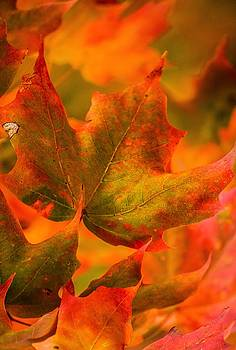 Maple Leaf In Flight by Karl Anderson
