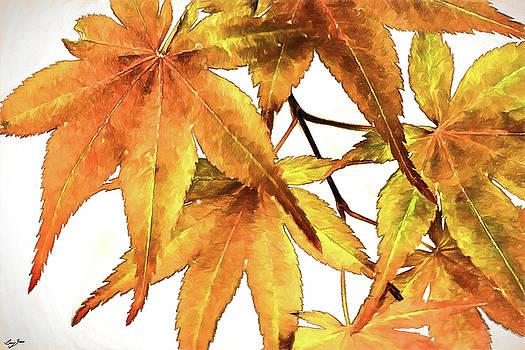 Maple Leaves by Barry Jones