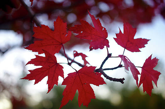 Maple Leaves by Brady Lane