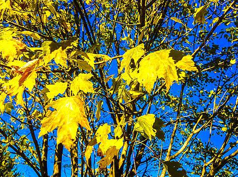 Maple Leaves by Debra Lynch