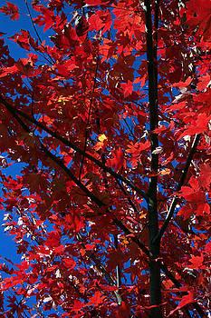 Maple Leaves by Linda Drown