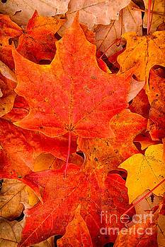 Autumn Maple Leaves by Mary  Smyth