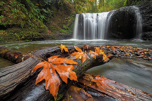 Maple Leaves on Tree Log at Hidden Falls by David Gn