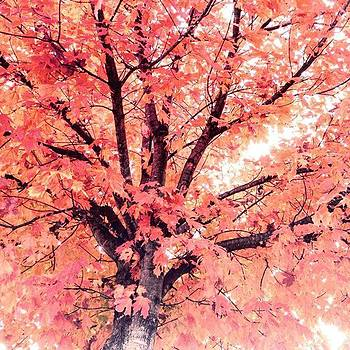 Maple Tree in Fall by Sharon Halteman
