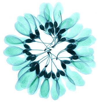Ted Kinsman - Maple Seeds X-ray