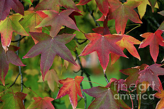 Maple Shapes by Tracy Hall