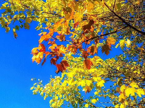 Maple Tree branches In Autumn by Debra Lynch