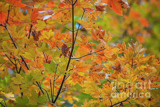 Dale Powell - Maple Tree Fall Color Foliage