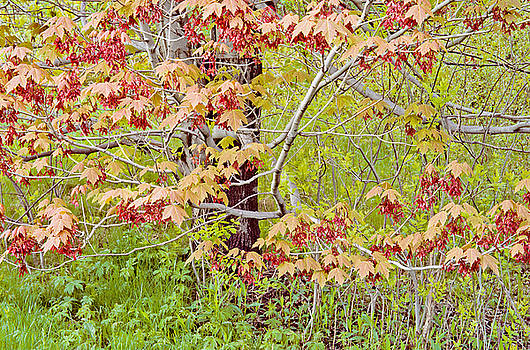 Maple Tree Photo by Peter J Sucy